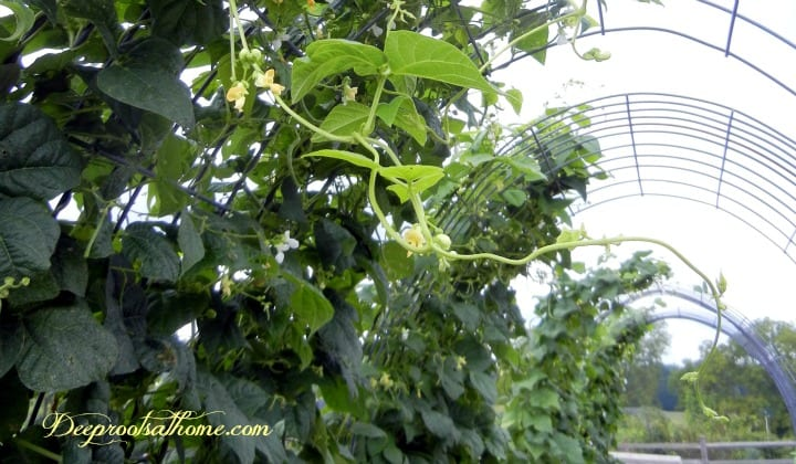Building A Strong Wind & Weather-Resistant Trellis. Climbing vines on a cattle panel trellis
