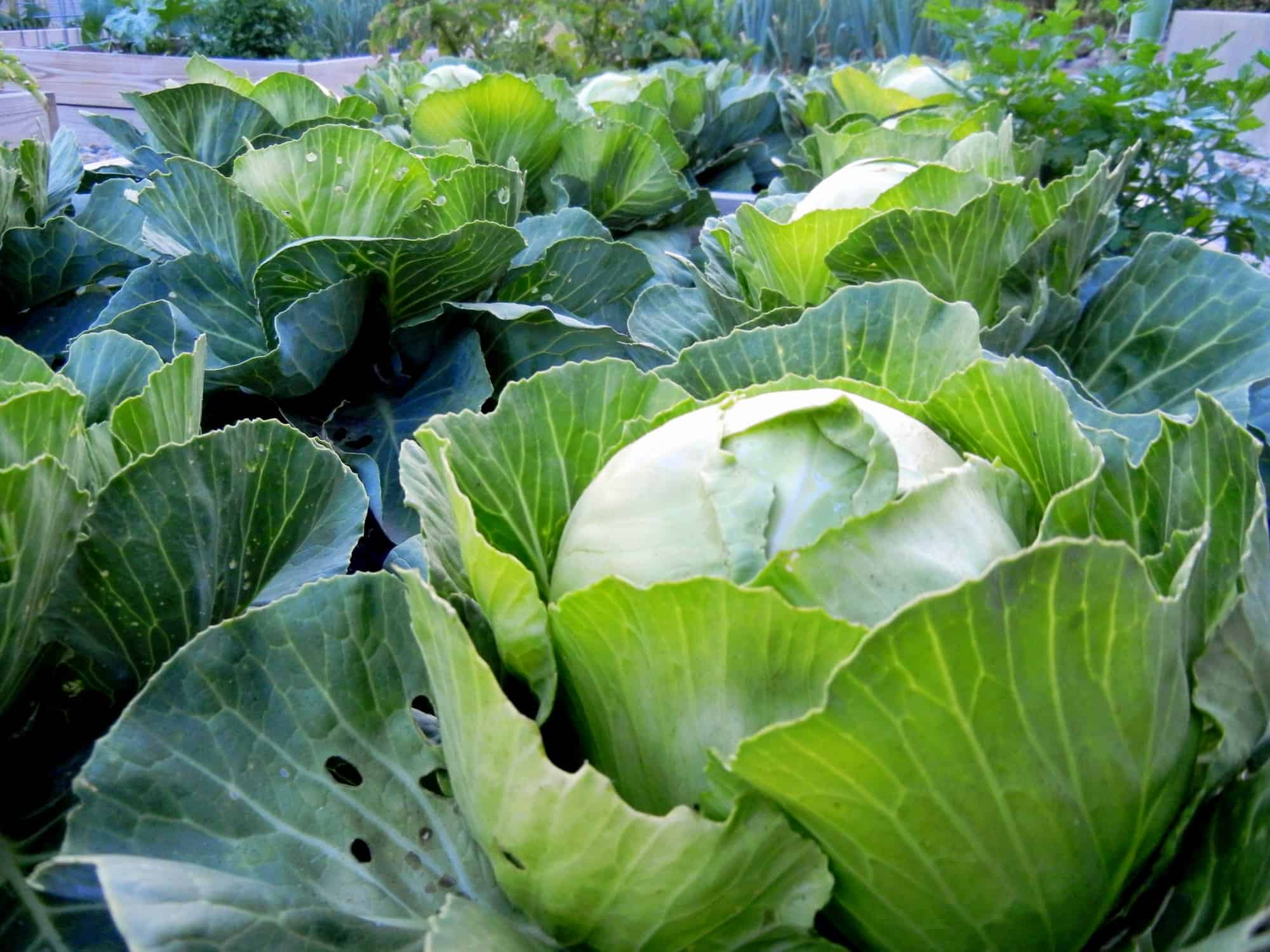 Growing cabbage, a cool weather crop the French intensive gardening way