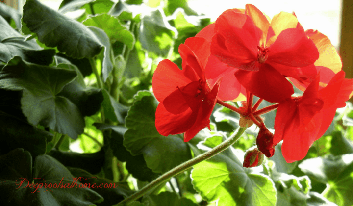 Glorious Geraniums At Your Window In Winter. indoor gardening with geraniums