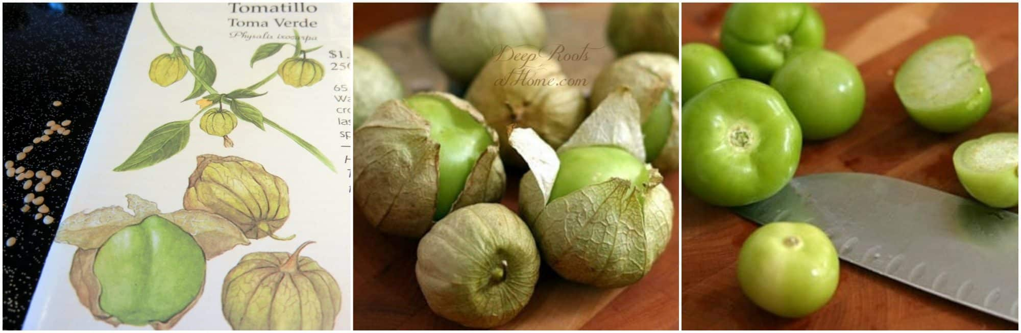 Fire or Oven Roasted Tomatillos Perfect this Salsa Verde Recipe. small green fruit in husks off the plant