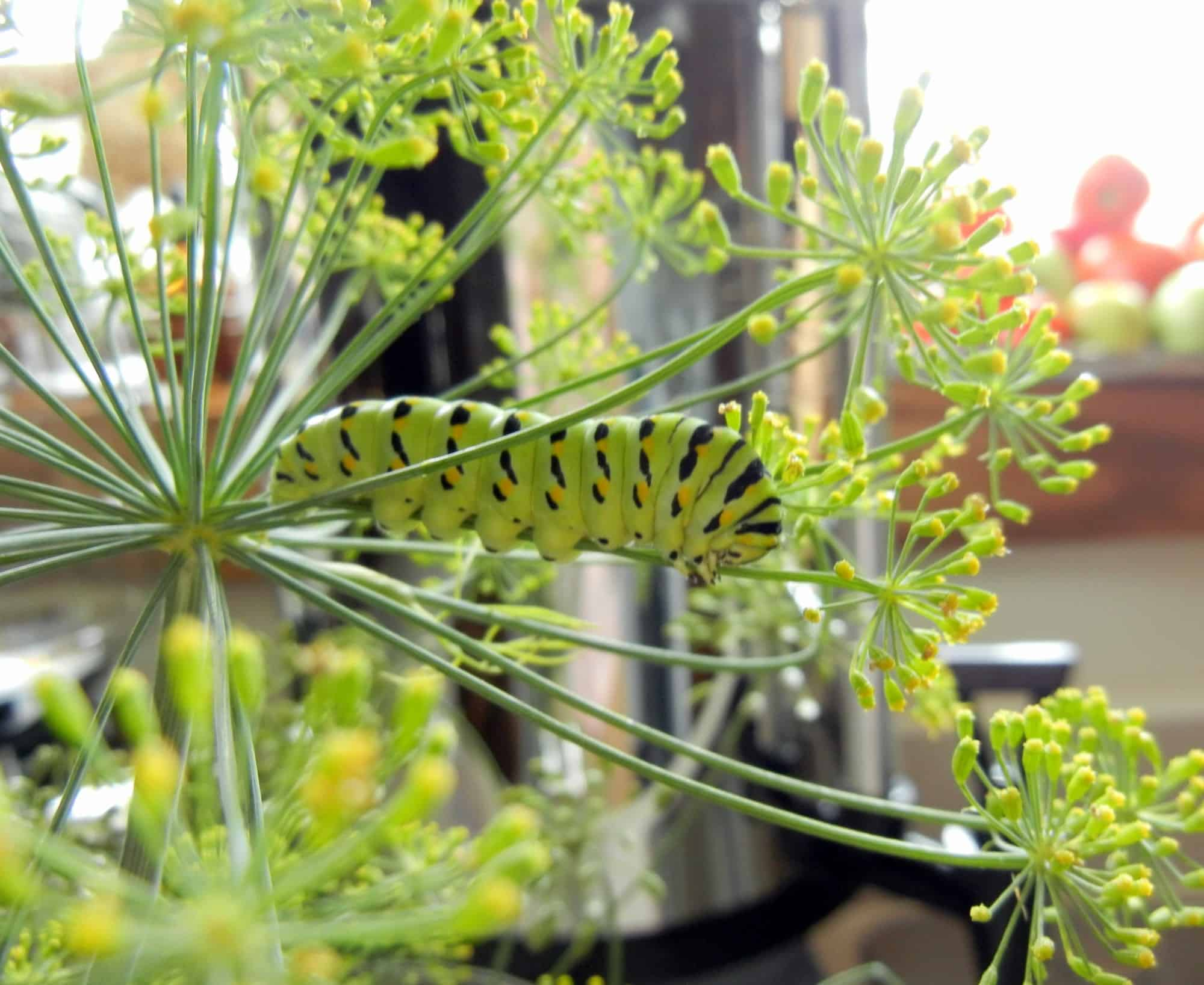 SLR camera on tripod, photographing caterpillar, eating fresh herb