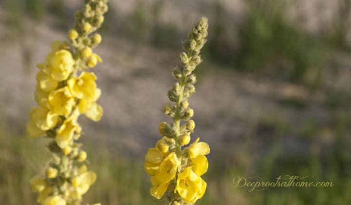 A flowering mullein plant that is ready for harvest to make a cough and respiratory remedy.