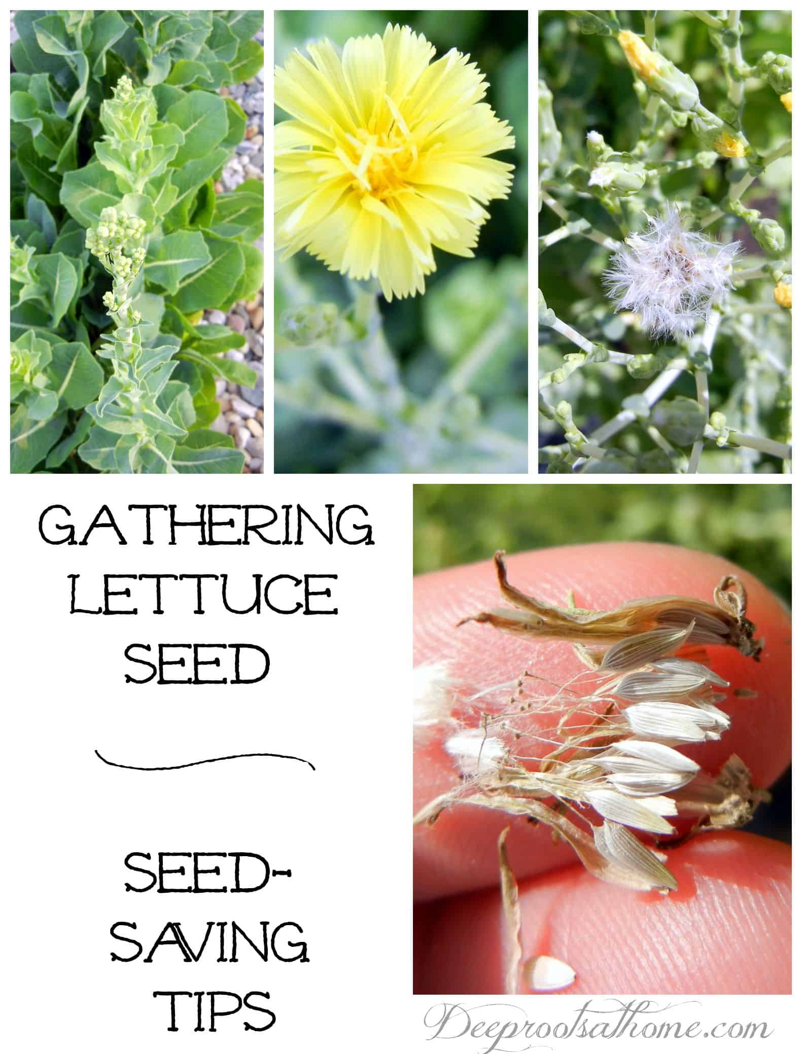 Gathering Lettuce Seed ~ Seed Saving Tips, flowers, adventure, science, thrift, preparedness training, culinary arts, living simply and responsibly, teach your children, pass on a heritage, sustainable skills, next generation, save money, frugal living, sustainable, homesteading, following God's natural plan, growing things, germination, growth, fruit bearing, prepared, proactive, your families needs, produce, no chemicals, no GMOs, full of nutrients, rich soils, tastes great, Vivian Romaine, Burpee seed, bolting, past its prime, spent plants, flower stalks, blooms, sap, sticky, when to pick, release seed, scattering seeds, spinach seed, celery seed, dill seed, herbs, herbal gardening, drying, recording date, keeping a log, keeper of the home, homemaking, homemaker, planting, harvesting, watering, collecting, Romaine lettuce, Caesar salad, salad fixings, gardening, September, fall garden, cool weather crops,