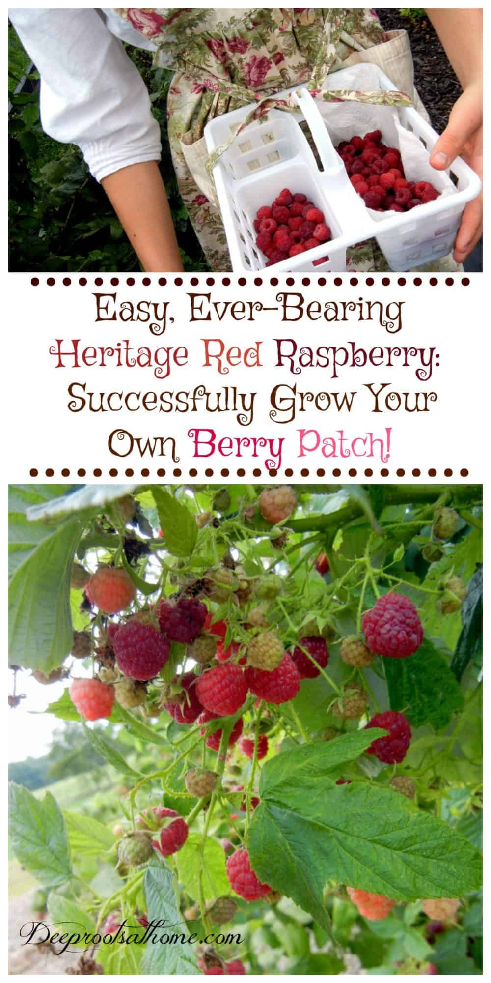 Easy Ever-Bearing Heritage Raspberry: Successfully Grow Your Own Berry Patch. Pinterest image