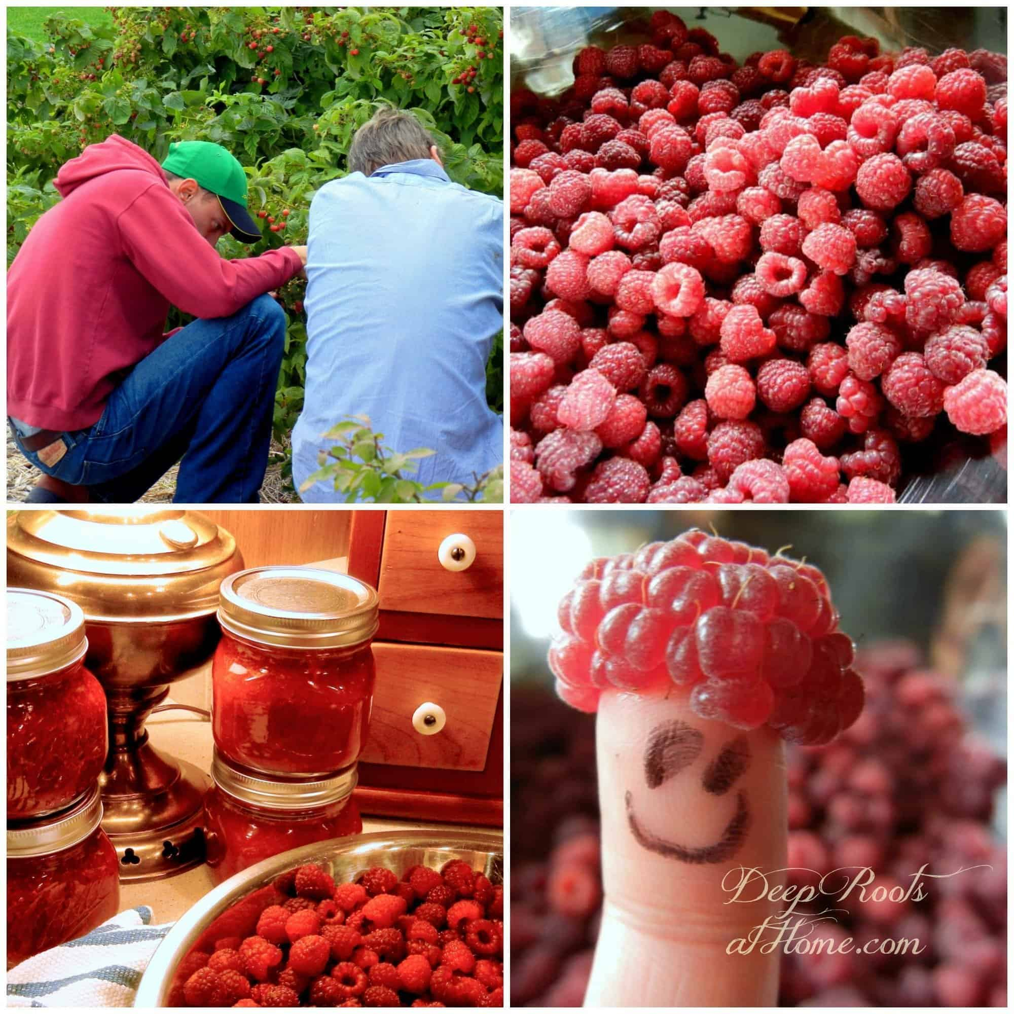 Everbearing Heritage Red Raspberry: Grow Your Own Berry Patch. collage