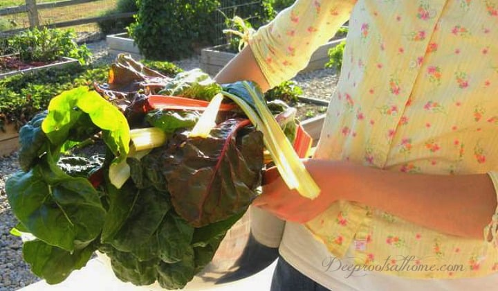 How to Grow Greens Spring or Fall in 25 Days & 3 Fab Smoothie Recipes. A young woman carrying in a bundle of fresh leafy greens from the fall garden