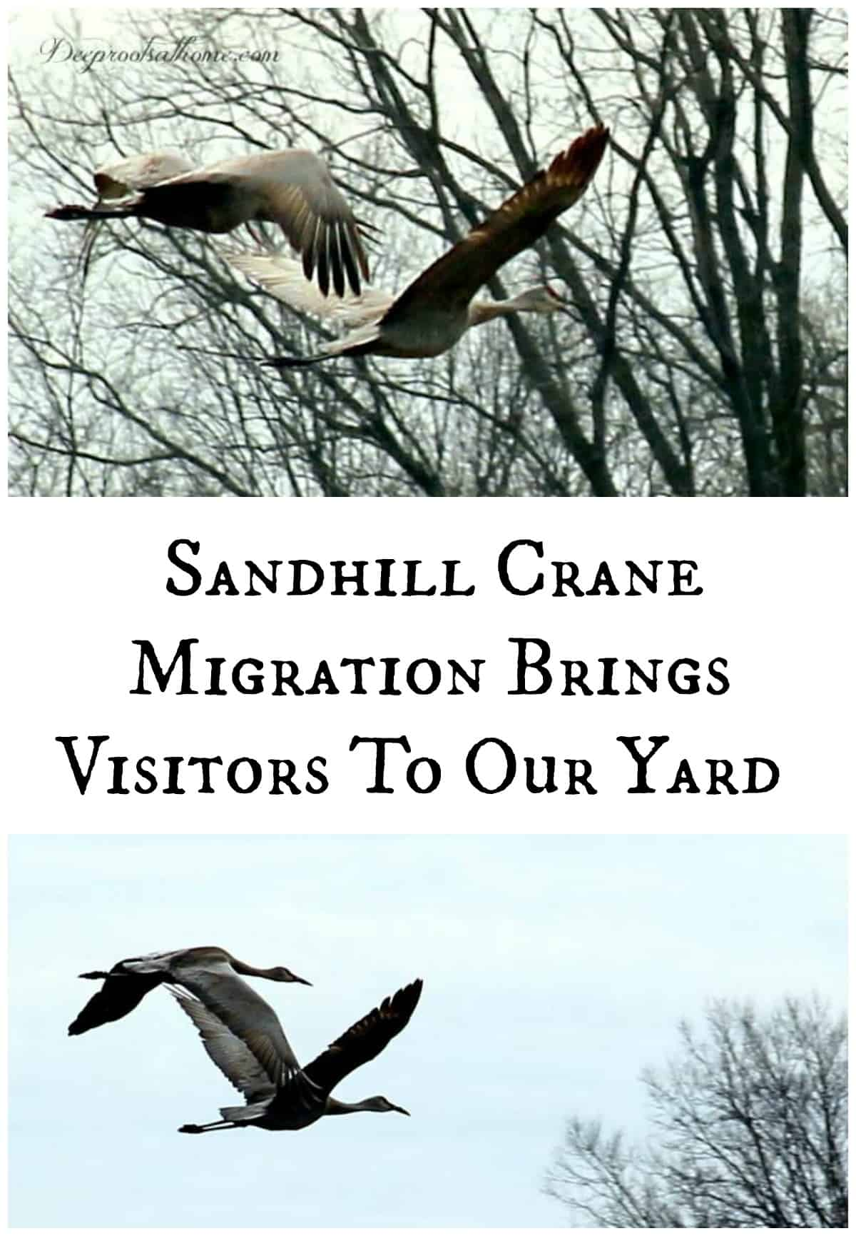 Sandhill Crane Migration Brings Visitors To Our Yard, Sandhill cranes in flight.