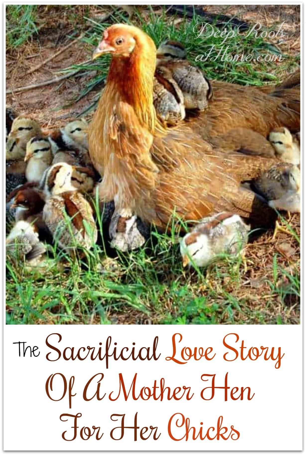 The Sacrificial Love Story Of A Mother Hen For Her Chicks. Hen surrounded by 15 chicks.