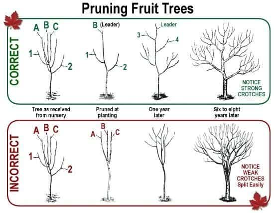 The Right and The Wrong Way & When To Prune Fruit Trees. Correct and incorrect ways to prune in a graphic comparison