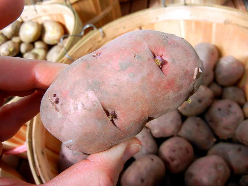 The Proper Way To Plant Potatoes In the Home Garden. Red Pontiac seed potato