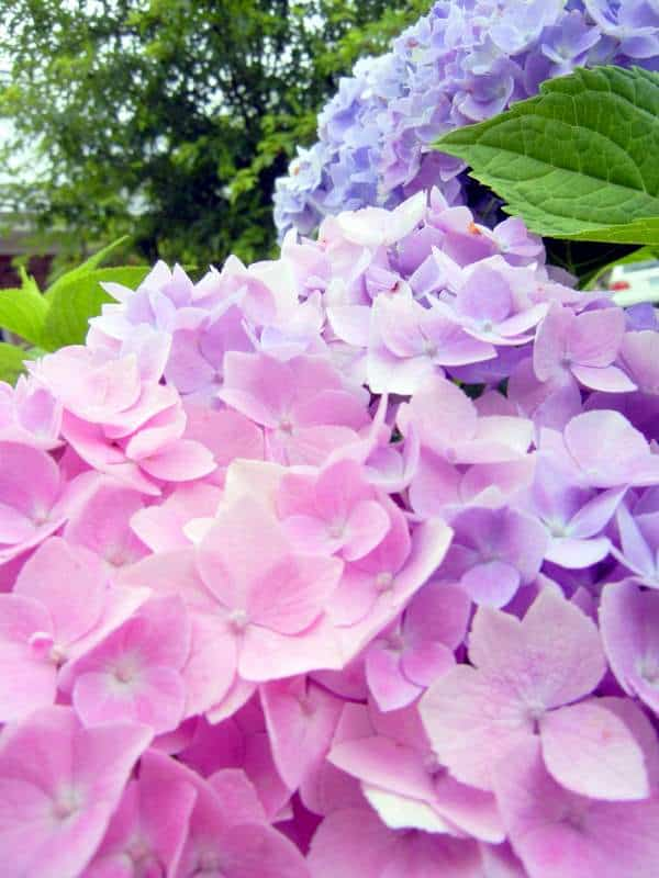 The March 'To Do' Spring Preparation List For Gardeners. hydrangeas and adding acid to turn blue from pink