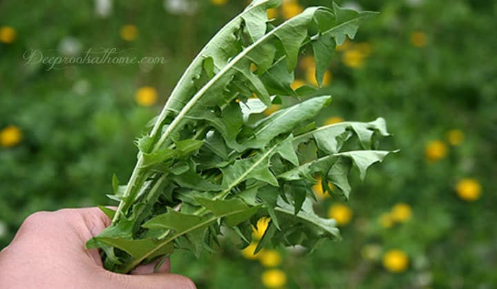 My Old-Fashioned Dandelion Greens Recipe: A Powerful Spring Tonic. spring dandelion leaves