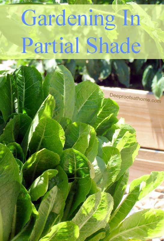 Vegetable Gardening: Plants That Will Grow In Partial Shade. My lettuces in the shade of tomato plants