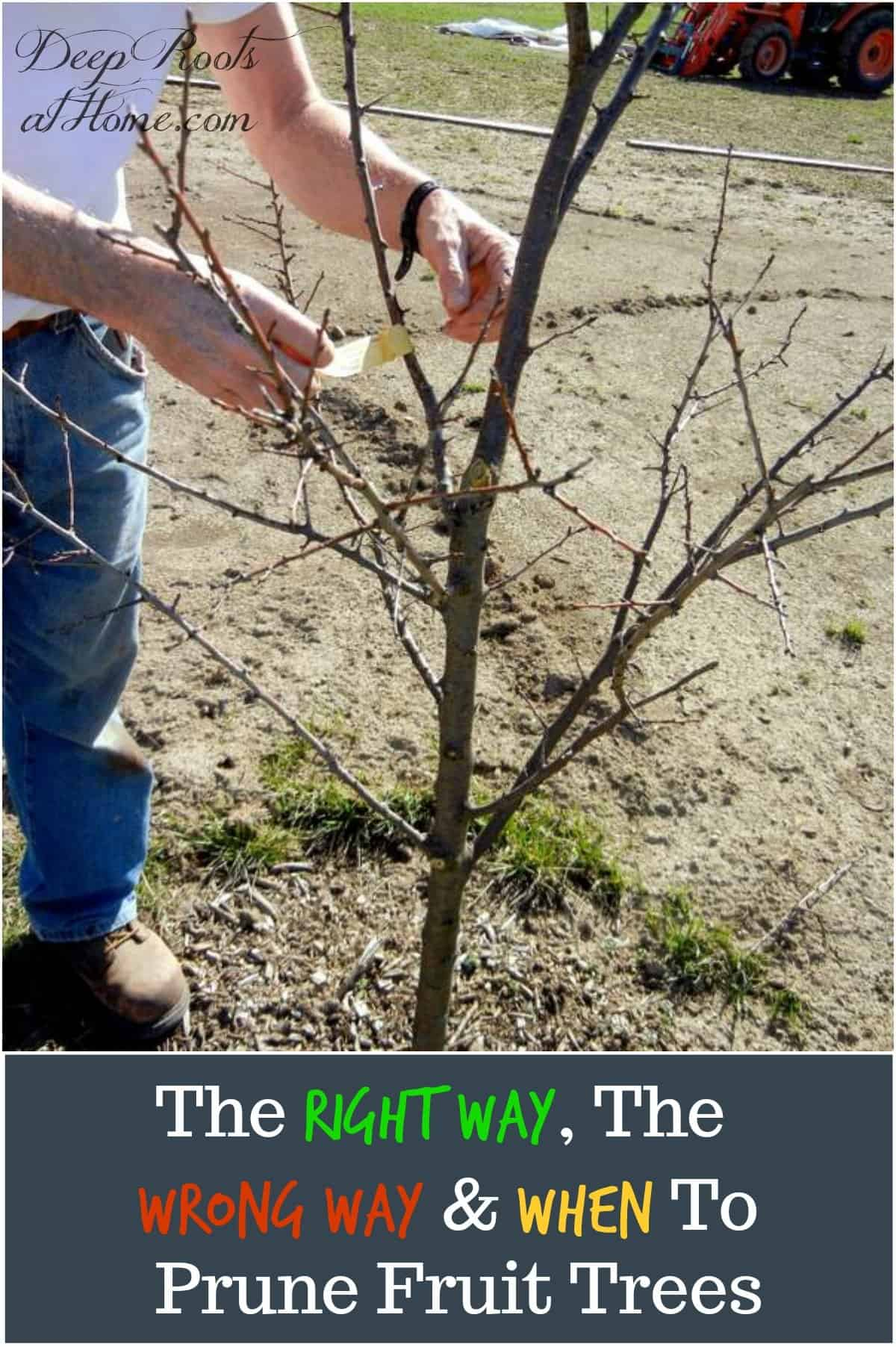 The Right and The Wrong Way & When To Prune Fruit Trees. My husband planting a young apple tree before pruning.