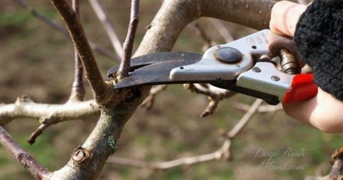 The Right and The Wrong Way & When To Prune Fruit Trees.