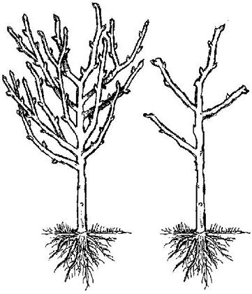 The Right and The Wrong Way & When To Prune Fruit Trees. An apple, pear, plum, cherry pruning graphic