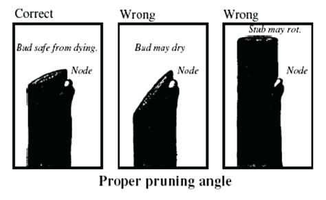 The Right and The Wrong Way & When To Prune Fruit Trees. heading cut, right way to make a pruning cut, angle