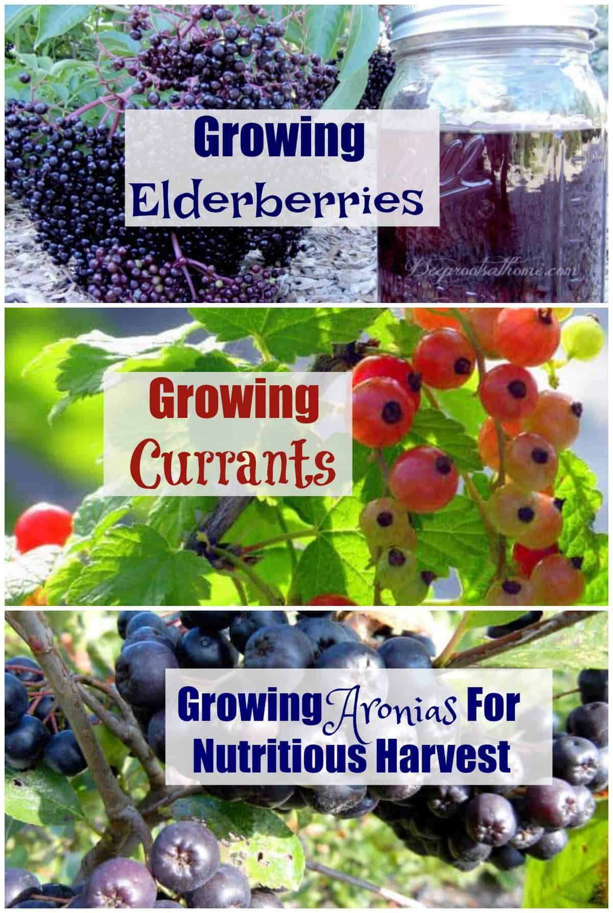 Growing Aronias, Elderberries, and Currants For Harvest. All three beautiful fruits.