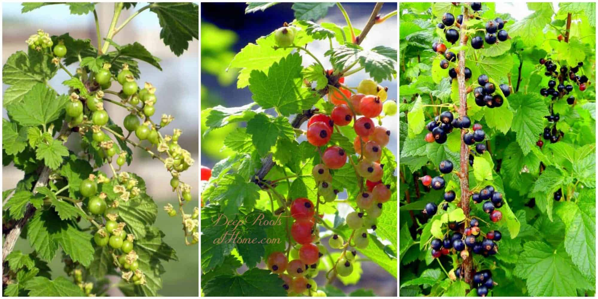 currants - putting up the harvest, European berries, not yet ripe