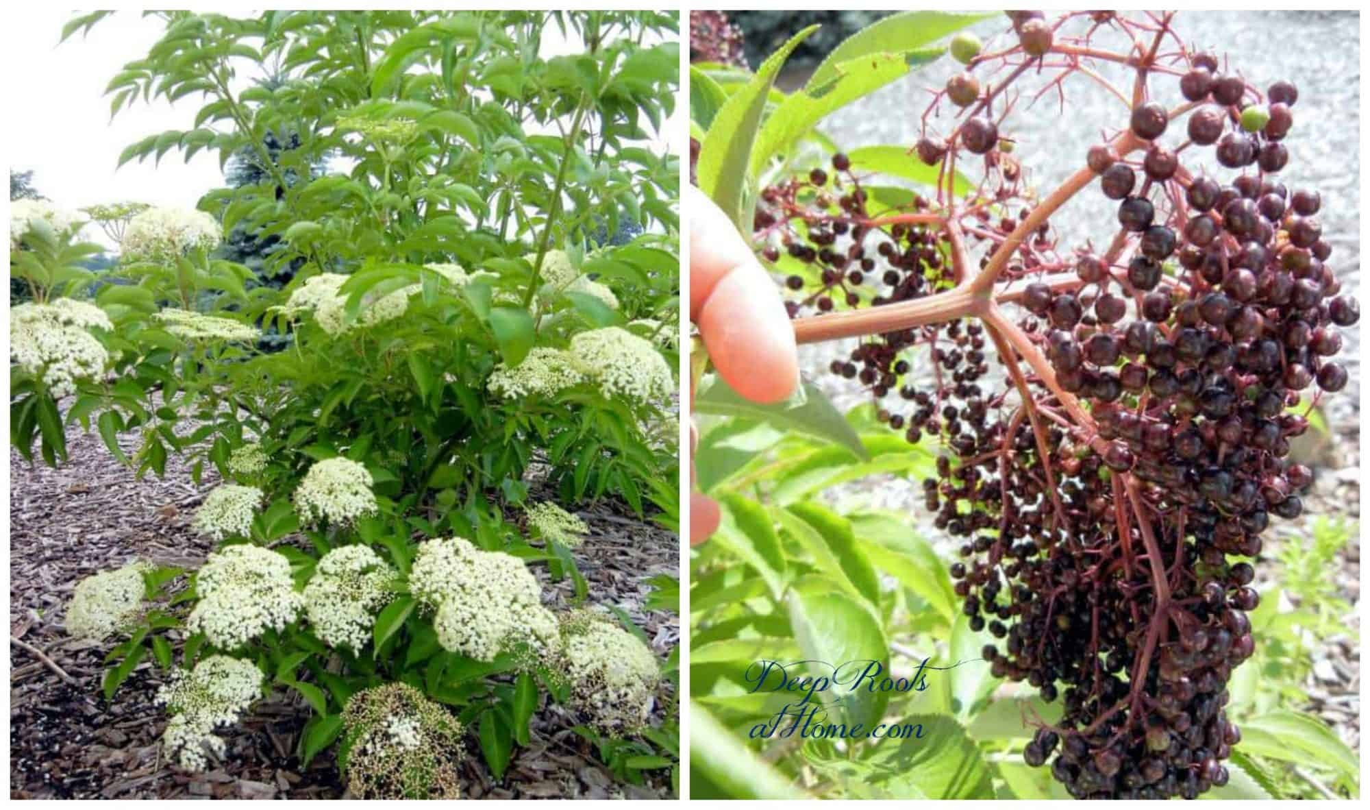 Elderberries ready to harvest, Johns variety, not self-fertile