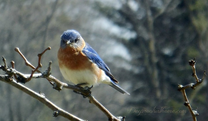 adult male bluebird in locust tree