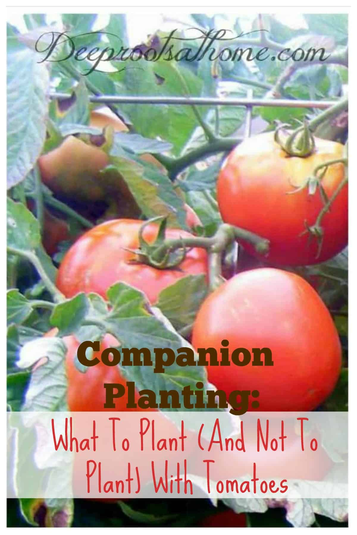 Companion Planting: What To Plant (& Not Plant) With Tomatoes. Ripe tomatoes on the vine and companion plants to grow nearby.
