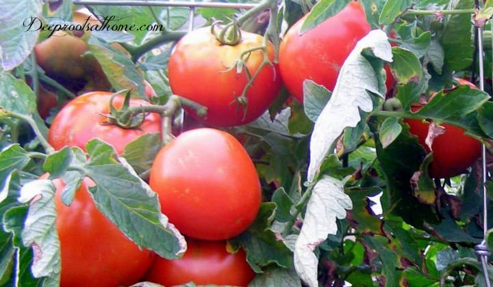 Companion Planting: What To Plant (& Not Plant) With Tomatoes. heirloom tomatoes