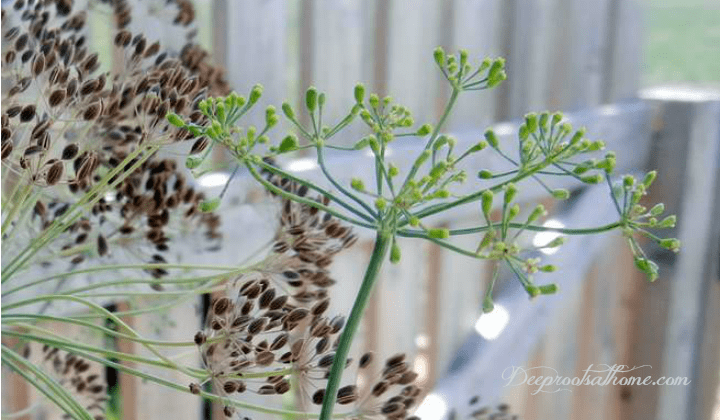 Dill: Saving Seed, Attracting Butterflies & Health Benefits. A growing garden herb, seed collecting