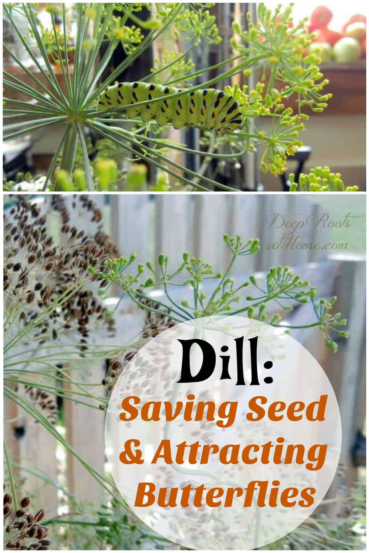 Dill: Saving Seed, Attracting Butterflies & Health Benefits.. caterpillar, eating fresh dill herb