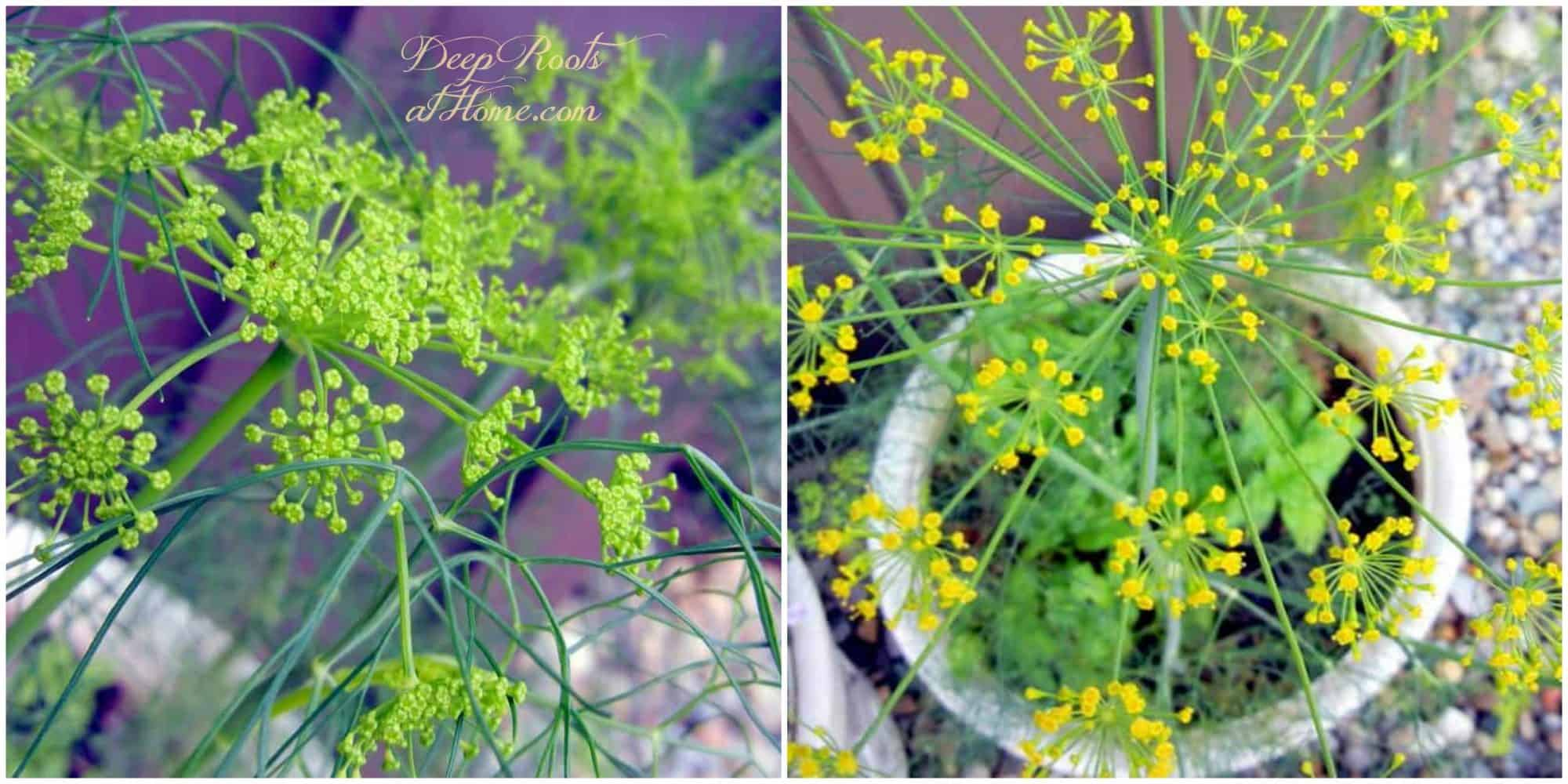 Dill: Saving Seed, Attracting Butterflies & Health Benefits. Flowers of the dill herb, grown in pots