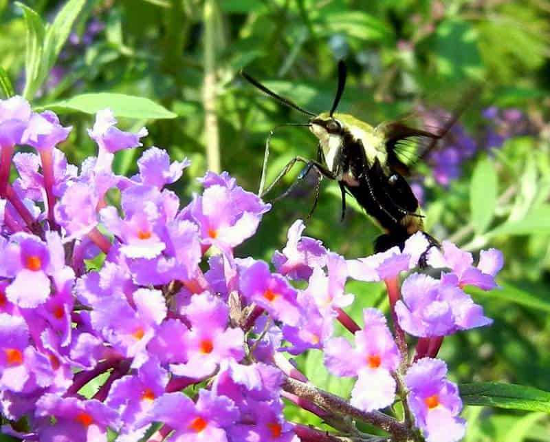 A clear-wing moth on Butterfly Bush