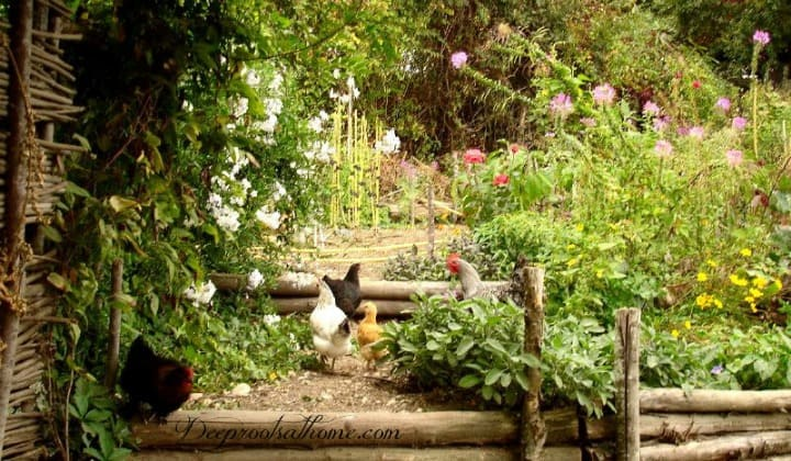 Potager French Garden Style: Combining Edible & Flowering Plants. hens in the garden
