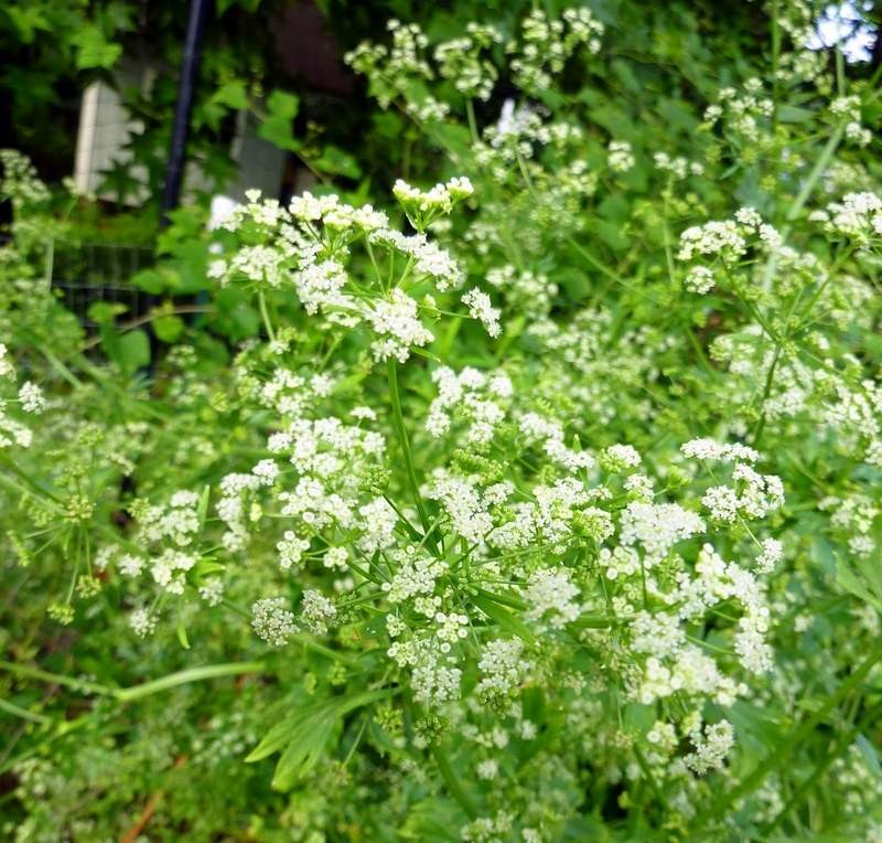 celery going to seed, flower stage