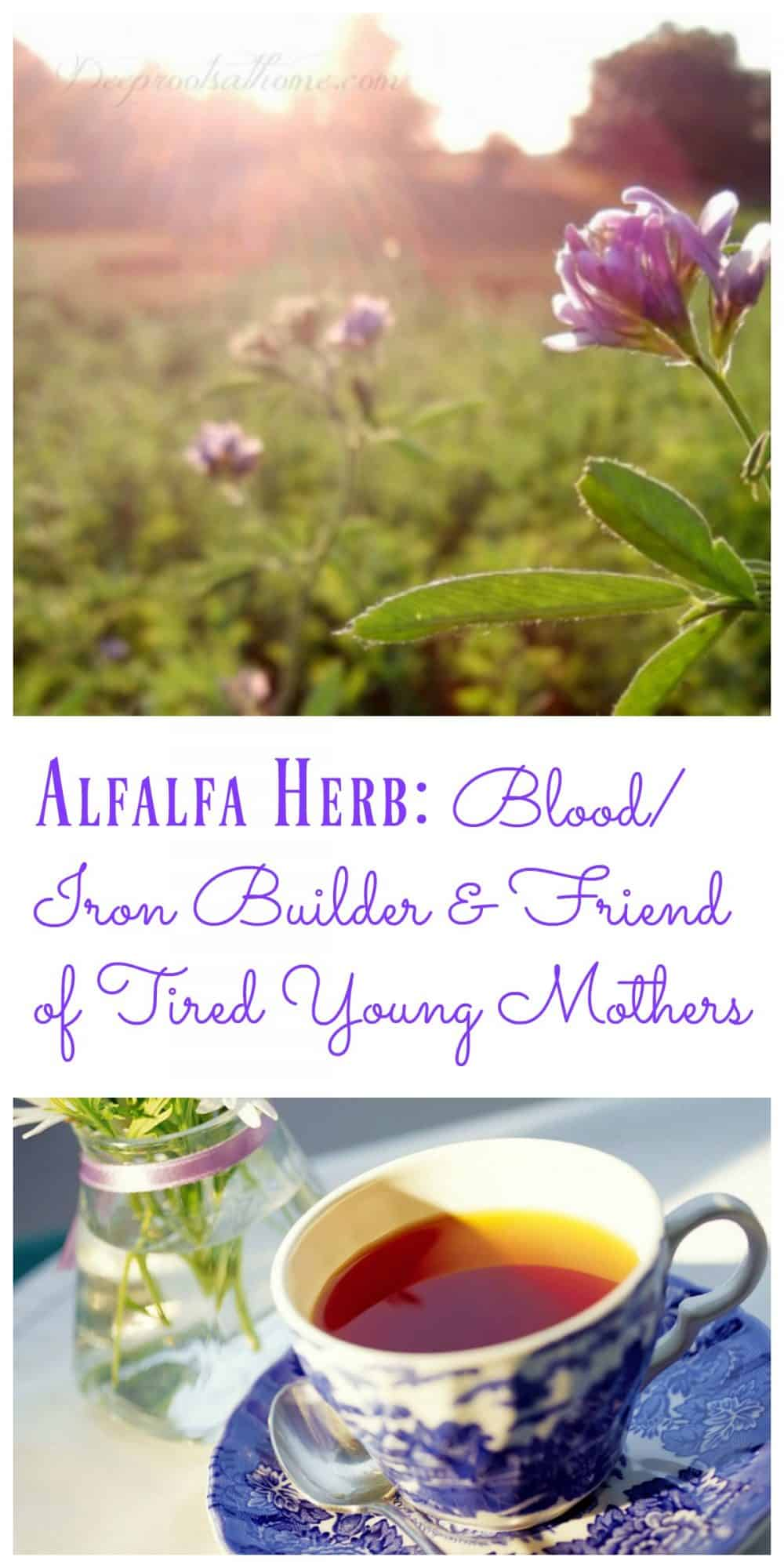 Alfalfa Herb: Blood/Iron Builder & Friend of Tired Young Mothers, alfalfa herb, Bulk Herb Store, cut leaf, organic, harvest, herbal tea, builds iron, detox, increases breast milk, urinary tract infections, blood cleaner, loaded with vitamins, chlorophyll, cancer preventative, Bulk Herb Store, organic, medicago sativa, tonic herb,