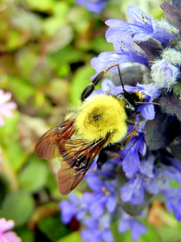 Habitat For Native Bees Using Mason Bee Boxes & Flowering Plants. A bumble bee gathering pollen from a blue flower