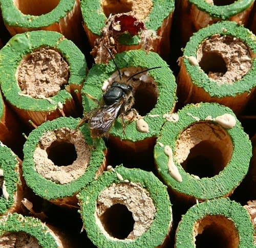 Habitat For Native Bees Using Mason Bee Boxes & Flowering Plants. A mason bee box with small tubes or dowel rods for nesting, filling cavities with mud