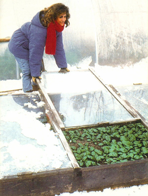 A Missouri coldframe under snow with a woman gathering a winter harvest of greens.