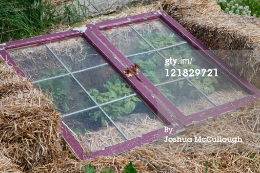 Choosing A Cold Frame That Works for You & 5 Plants That Defy the Snow, Italian flat-leaf parsley in the snow, straw bales and old windows, classic cold frame, winter gardening, growing greens