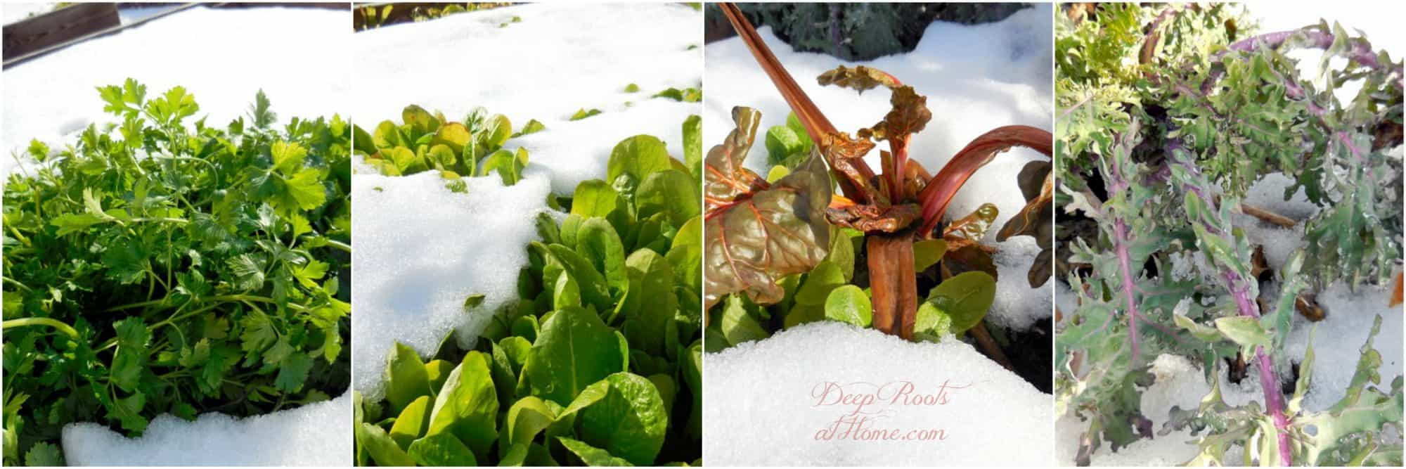 Choosing A Cold Frame That Works for You & 5 Plants That Defy the Snow, 4 greens that do well in the snow