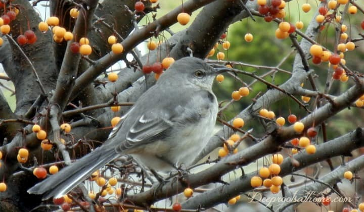 Backyard Birds & Natural Winter Food Sources We Can Provide. A mockingbird stripping a tree of fruit