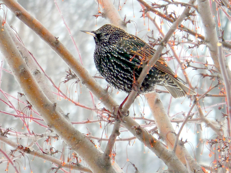 Backyard Birds and Winter Food Sources. A starling speckled with bright dots!