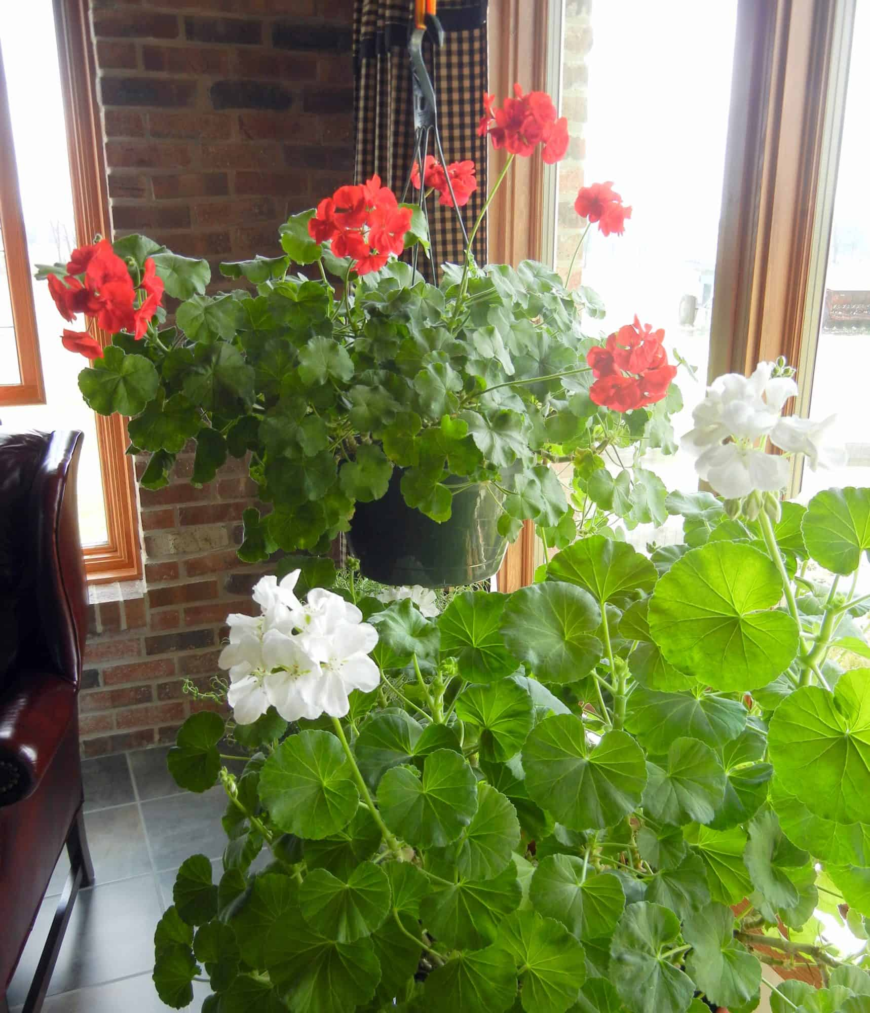 Using Color In Winter, To Cheer The Home & Heart. Geraniums in my window
