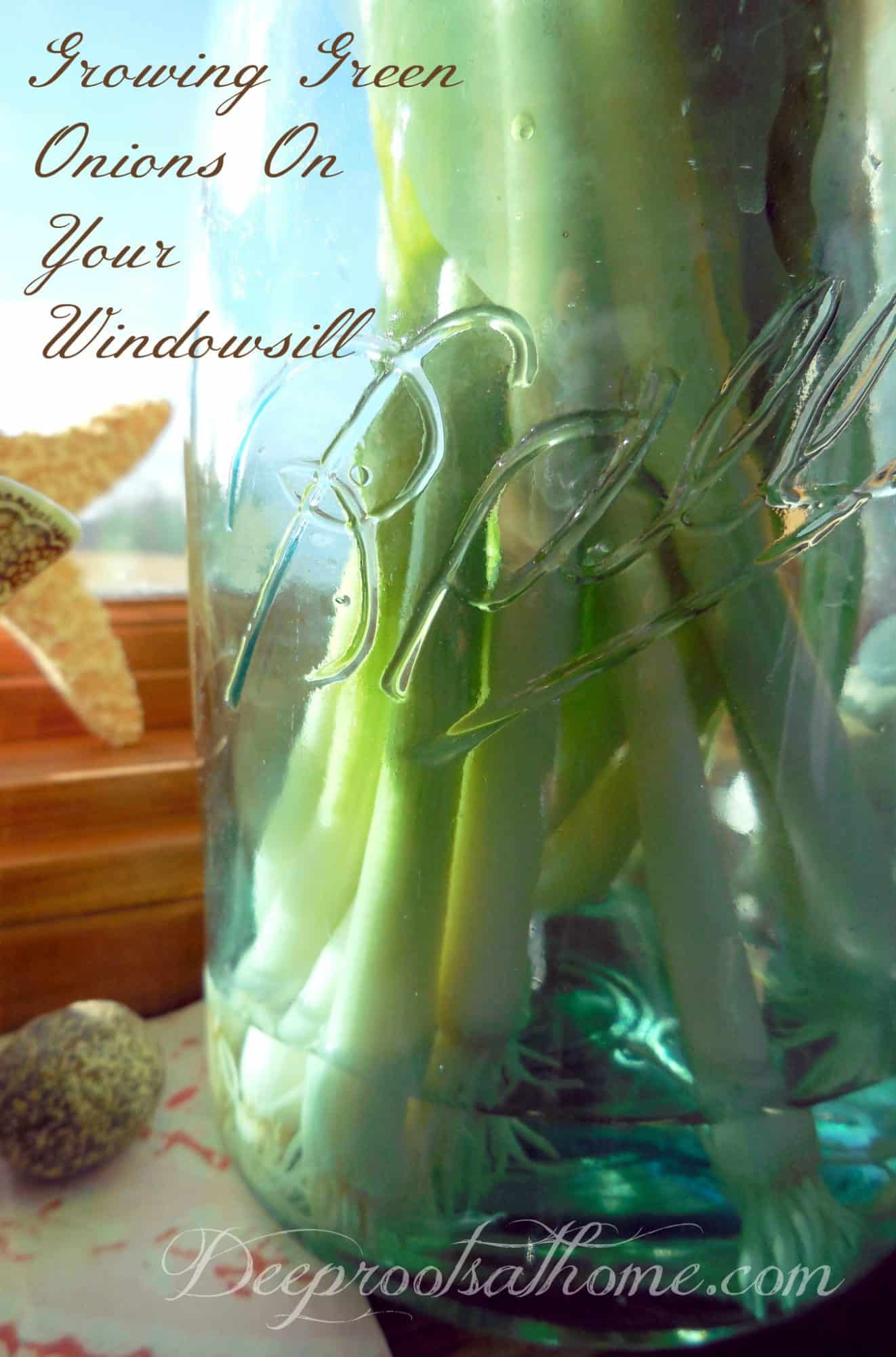 Growing Green Onions On Your Windowsill Couldn't Be Easier. Roots in water in Ball canning jar.