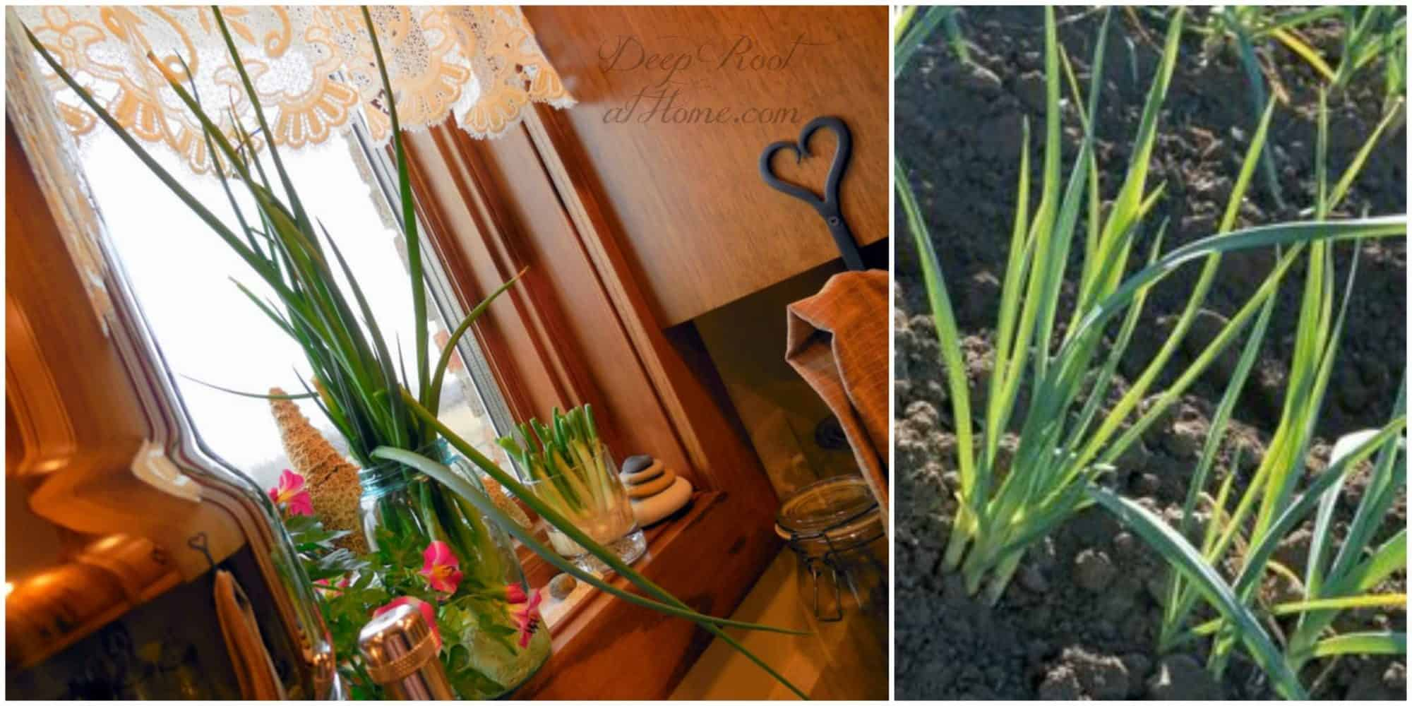 onions that have grown tall and tender...in garden