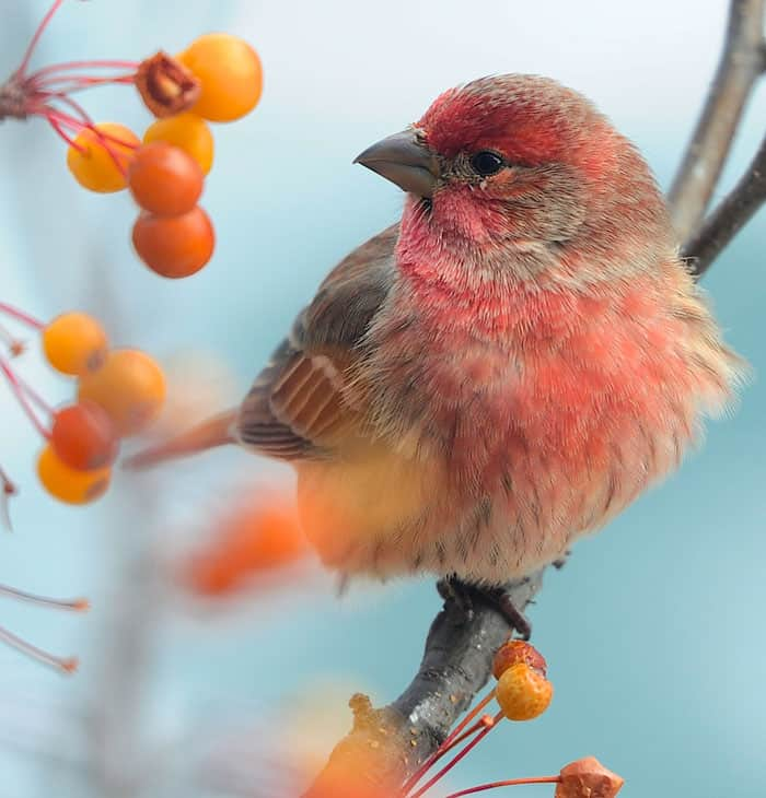 Backyard Birds & Natural Winter Food Sources We Can Provide. A bright house finch