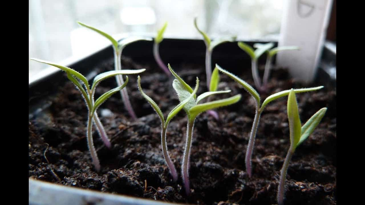 3 Natural Anti-Fungals to Prevent Damping Off In Seedlings. healthy tomato seedlings