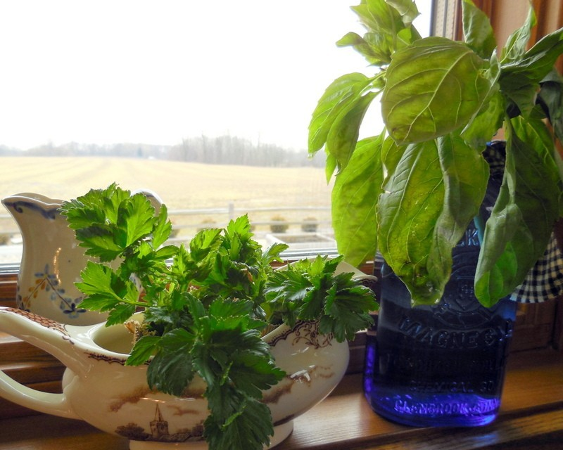 basil and celery cuttings in the window, growing inside