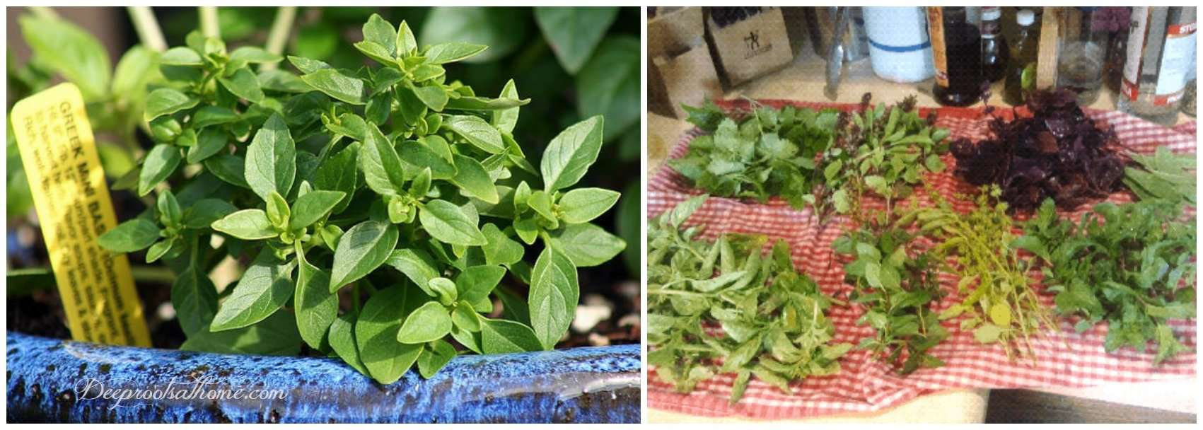 Root Basil Starts From Stem Cuttings Right In Your Window. Greek basil