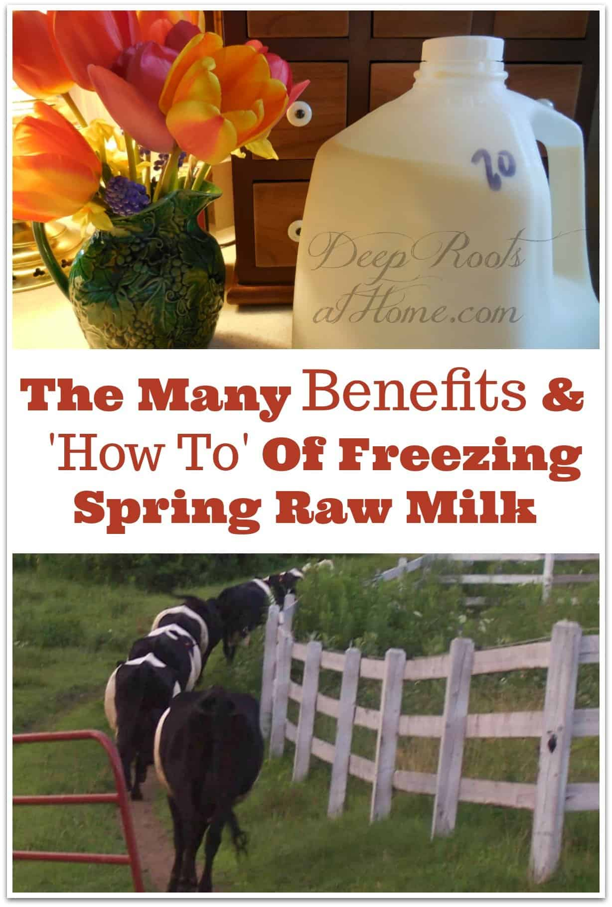 The Many Benefits and 'How To' Of Freezing Spring Raw Milk. Freezing spring raw milk