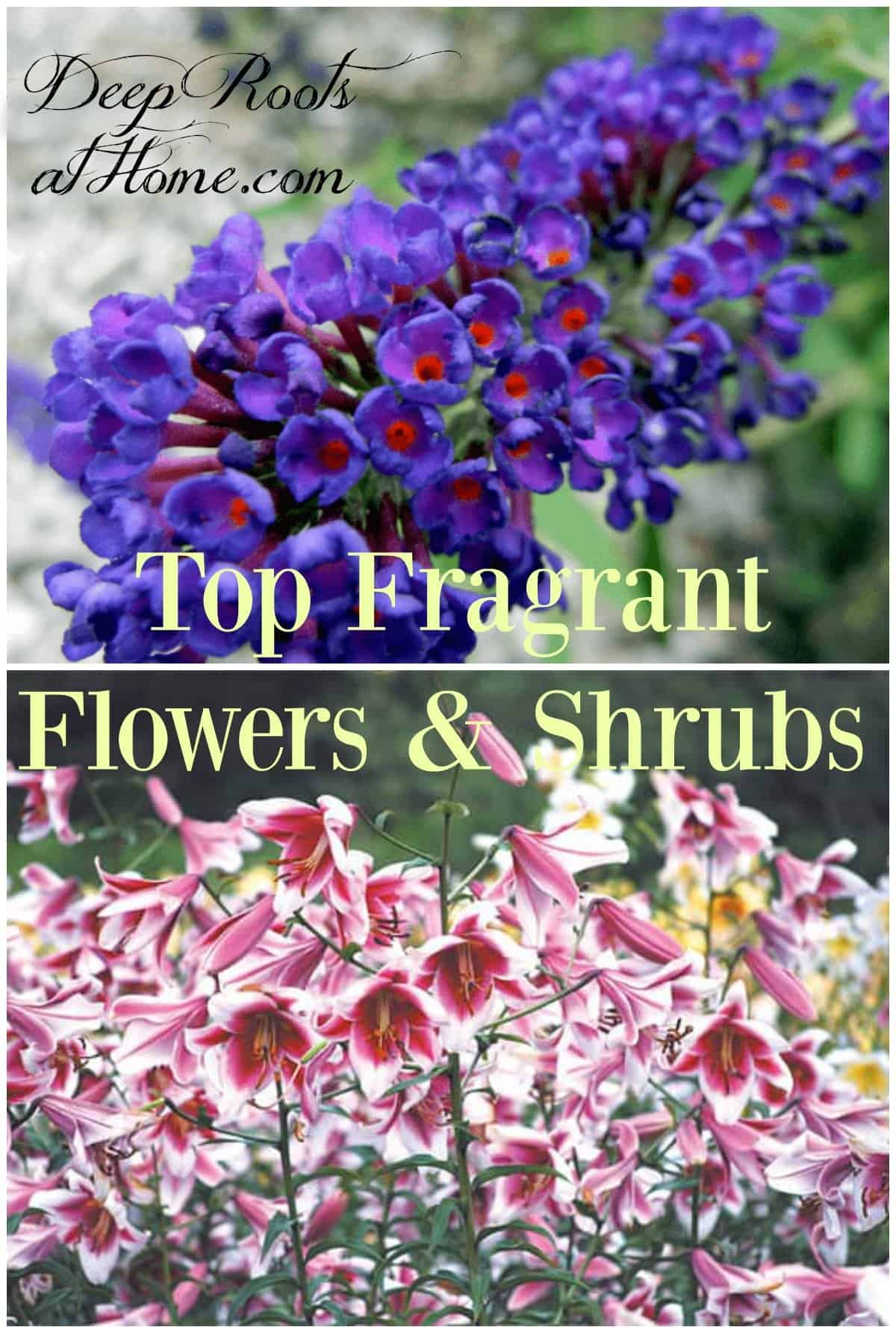 Top Fragrant Flowers and Shrubs For Your Garden. Oriental lilies and Nanho blue with orange eyes, a butterfly magnet